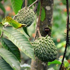 Custard apples are a common sight in our garden